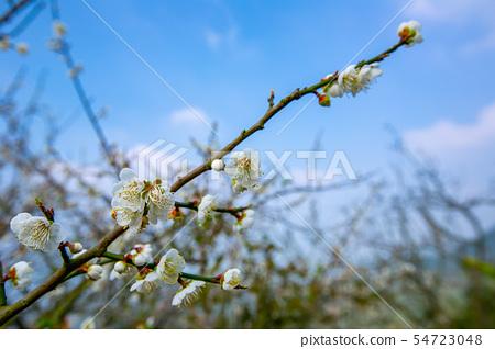 대만 Chiayi Meiling Plum Blossom 아시아 대만 Chiayi Plum 54723048