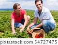 Woman and man on a pick yourself strawberry field 54727475