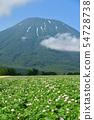 在北海道京極町拍攝開花馬鈴薯田和夏日山的夏季景觀 54728738