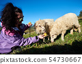 Young smiling woman in sunglasses giving apples to white sheep grazing in green grassy meadow. 54730667