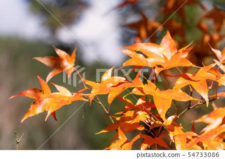 日本美麗楓葉旅行背景楓葉楓葉楓葉秋葉楓樹 54733086