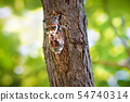 Insect Cicadidae family of cicadas. Cicadoidea 54740314