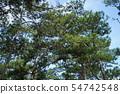 Pine forest at Da Lat, Vietnam. 54742548