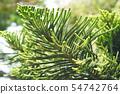 Araucaria Heterophylla - Norfolk Island Pine. 54742764