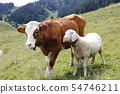 cow and sheep 54746211