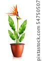 Strelitzia reginae in flowerpot vector 54750507