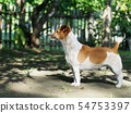 happy active young Jack Russel, Rusell terrier dog 54753397