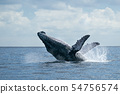 humpback whale breaching in cabo san lucas 54756574