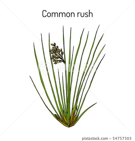 Common or soft rush Juncus effusus , medicinal plant 54757303