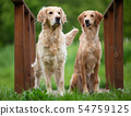 Two golden retriever dogs in the park 54759125