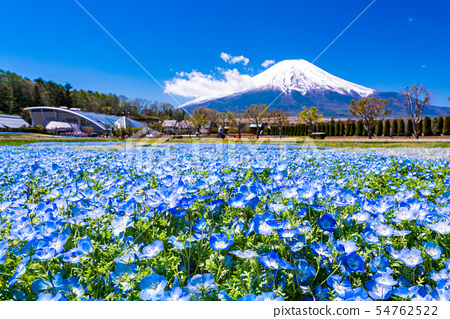 (Yamanashi Prefecture) From the city park with blooming nemophila flowers, Mt. Fuji 54762522