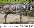 다마 동물 공원의 얼룩말 54764445