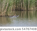 Wild Female Mallard duck with youngs ducklings. Anas platyrhynchos leaving the water hiding in reeds 54767408