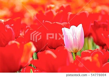 Tulip 54778004
