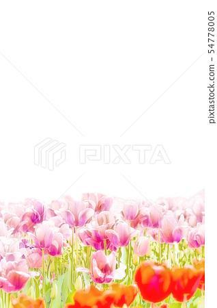 Tulip 54778005