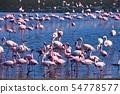 在walvis海灣納米比亞的火鳥火鳥 54778577