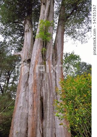 神聖的樹,台灣紅柏。 54785367