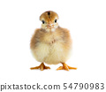 chicken isolated on white 54790983