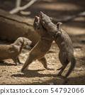 Common dwarf mongoose in Kruger National park, 54792066