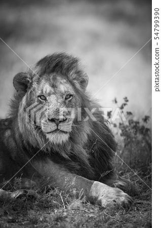 African lion in Kruger National park, South Africa 54799390