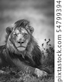 African lion in Kruger National park, South Africa 54799394