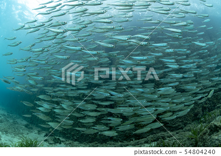 少年沙丁鱼 54804240