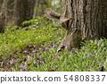 日本松鼠从树顶到报春花花园 54808337