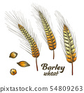 Color Designed Barley Wheat Spike And Seed Set Vector 54809263