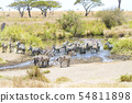 Zebras drinks water in Serengeti 54811898