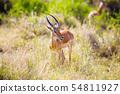 Gazelle eating in Serengeti Africa 54811927