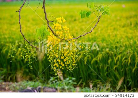 臺灣臺南白河阿勃勒及稻田Asia, Taiwan,Tainan White River Flowe 54814172