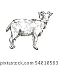 Vector image of goat in style of engraving. Agricultural illustration 54818593