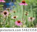에키나케아 꽃 수풀 54823358