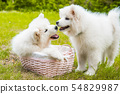 Two Funny Samoyed puppies dogs in the basket 54829987
