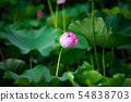 【쿄토】 카메오 평 사와 연못 연꽃 54838703