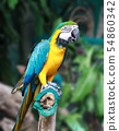 Macaw bird with clipping path.  54860342