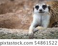 Closeup of meerkat face 54861522