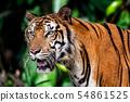 Tiger head 54861525