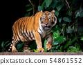 Beautiful Sumatran tiger on the prowl 54861552