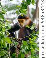 Red shanked Douc Langur (Pygathrix nemaeus) 54868443