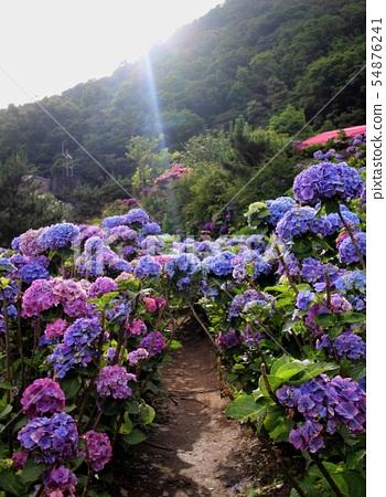 紫繡球花 54876241