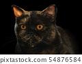 Scottish breed cat head 54876584