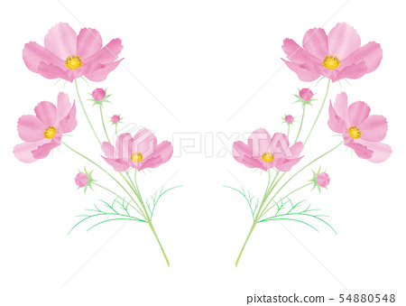코스모스 _pink2 54880548