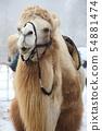 camel 54881474