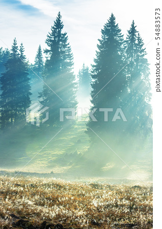 sun rays breaking through the fog in spruce forest 54883573