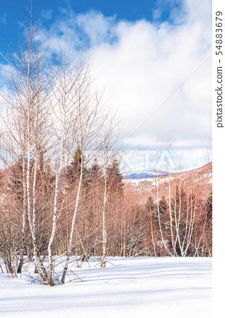 birch forest in winter 54883679