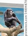 침팬지 (텐 노지 동물원) 54894870