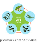 Nature infographic illustrations of frog life cycle. School vector pictures isolate 54895844