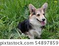 Pembroke welsh corgi puppy sitting on green meadow 54897859