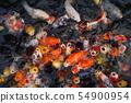 鯉魚圖像 54900954